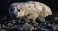 Baby Seal by David O'Brien
