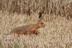 Brown Hare by Tracy Marsden