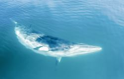 The Visit, Young Minke Whale by Mark Harris