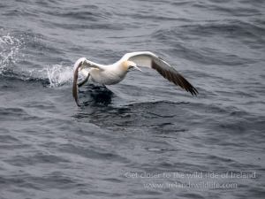Gannet take off Lumix G9