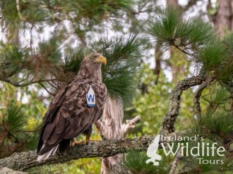 White-tailed Eagle: Wildlife Holidays in Ireland