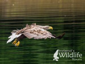 Wildlife Holiday UK alternative: White-tailed Eagle