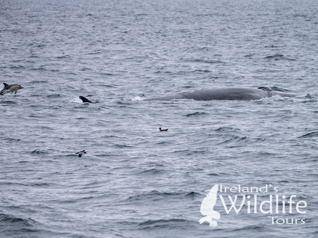 Wildlife Holiday Europe: Fin Whale, Common Dolphin, Manx and Sooty Shearwater