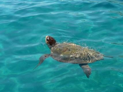 Caretta Caretta, de waterschildpadden die in onze baai hun nesten maakten! We hebben er een paar gezien!