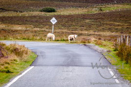 Isle of Skye –  Schafe