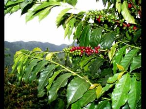 Coffee exporters seeking to retain US$10M in exports to Japanese markets