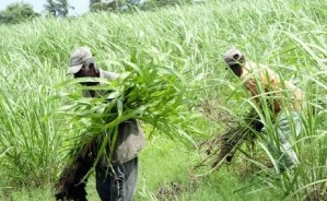 Expert says there are bright prospects for the Jamaica and Caribbean sugar industries