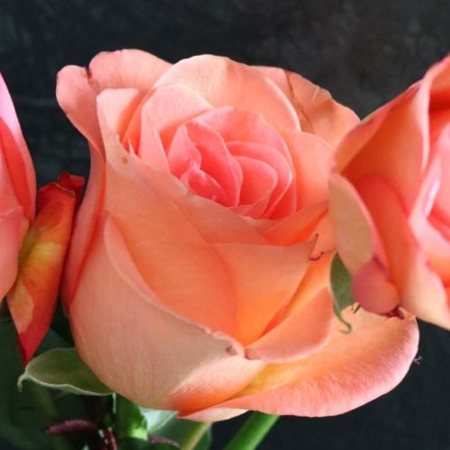 Three apricot pink roses close up