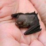 Il pipistrello più piccolo del mondo