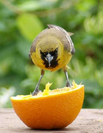 Yellow Bird on an Orange