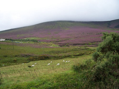 Heather clad Irish mountain