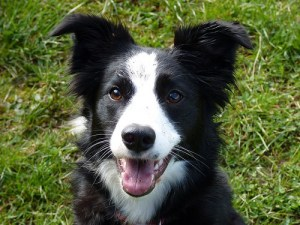 Border Collie - Black Eye Patches and White Snout