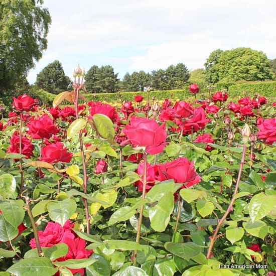 Red Roses Growing Together