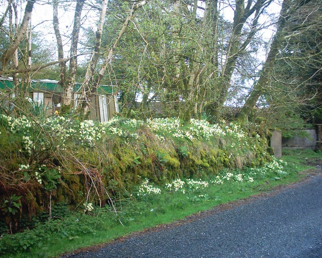 Primroses covering a verge