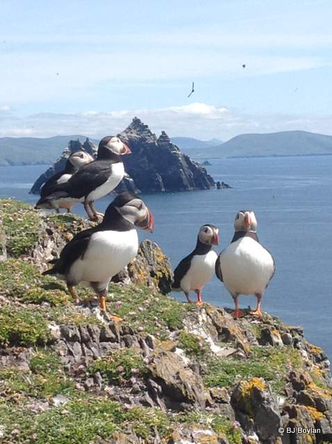 Puffins on Skellig Michael off the Kerry coast in Ireland