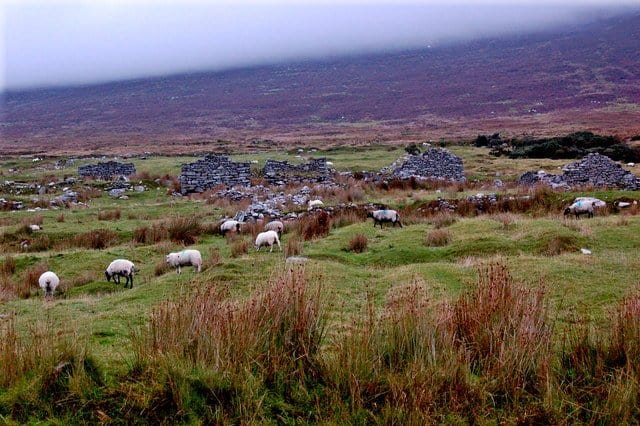 Sheep grazing on old lazy beds in The Deserted Village on Achill Island, County Mayo