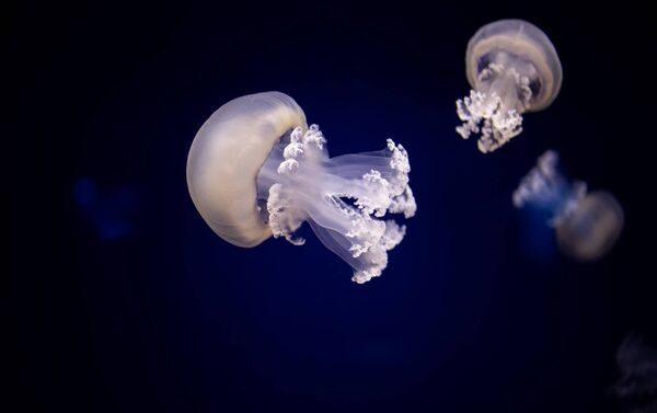 Barrel jellyfish can cause a severe allergic reaction