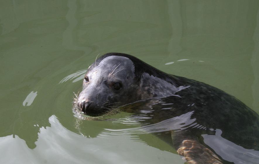seals can copy human