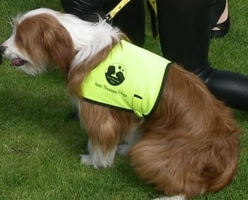 Irish Therapy Dog 1