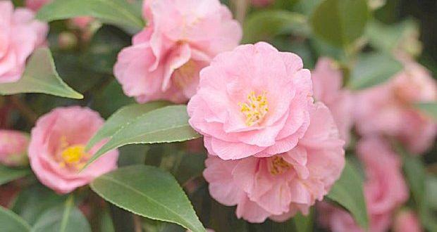 camellias are bursting into
