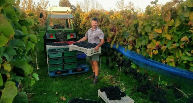Irish wine: harvesting grapes at the Lusca vineyard, in north Co Dublin. Photograph: @davidsorchard/Twitter