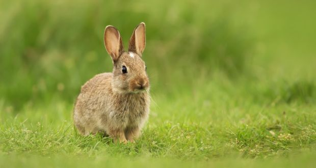 disease fatal to rabbits