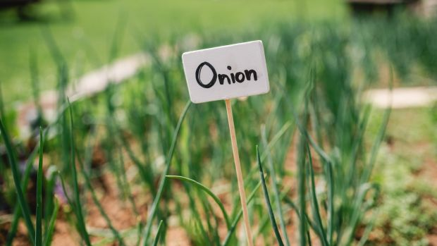 Know your onions. Photograph: Getty