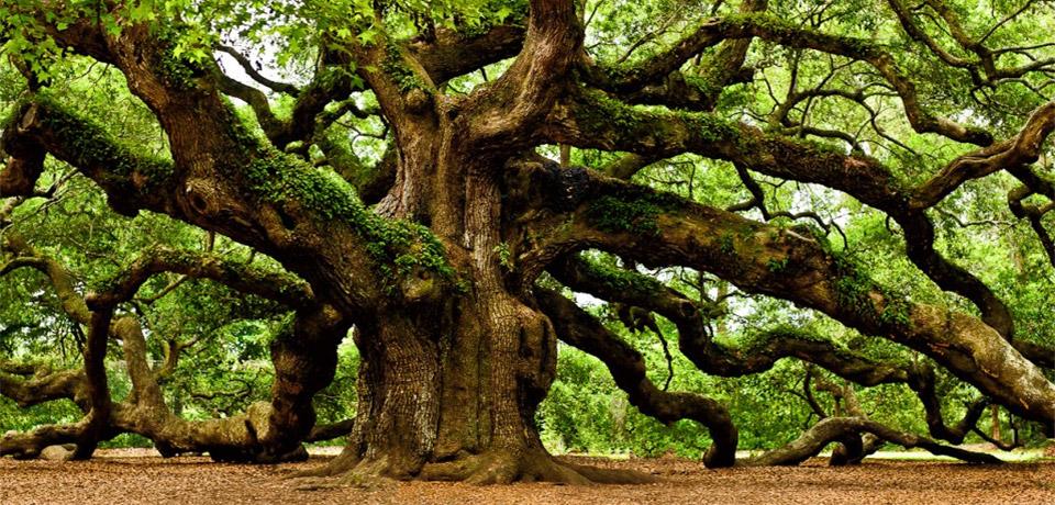 the irish tree society