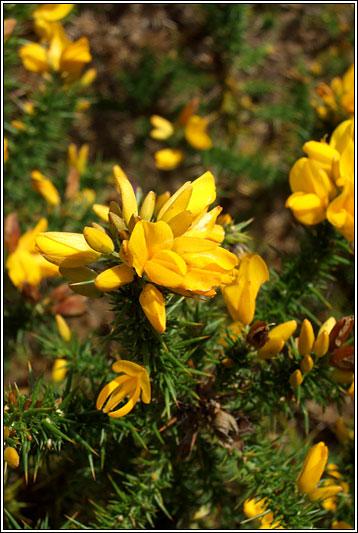Irish Wildflowers European Gorse