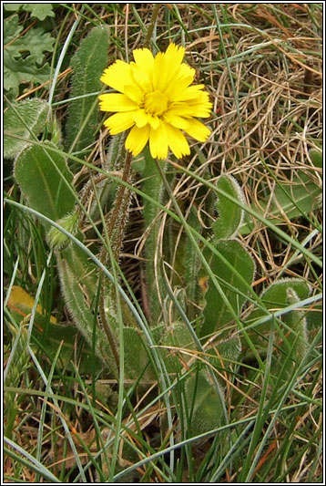 Irish Wildflowers  Lesser Hawkbit