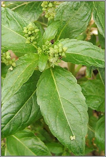 Irish Wildflowers  Annual Mercury