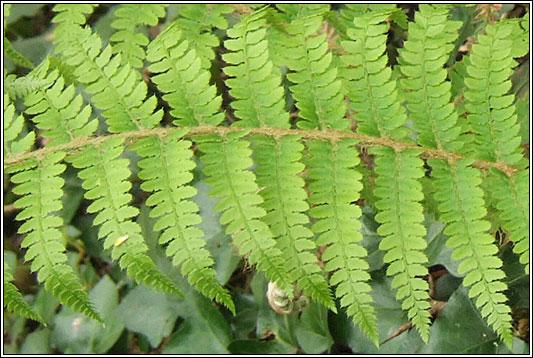 Irish Ferns Soft Shield Fern