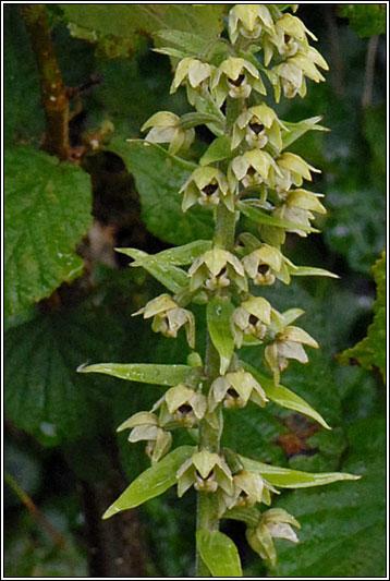 Irish Wildflowers  Broadleaved Helleborine Epipactis