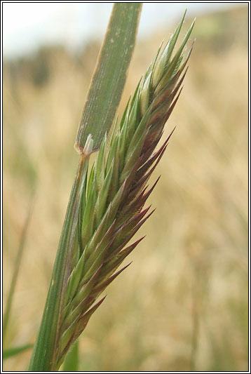 Irish Grasses  Sweet Vernalgrass