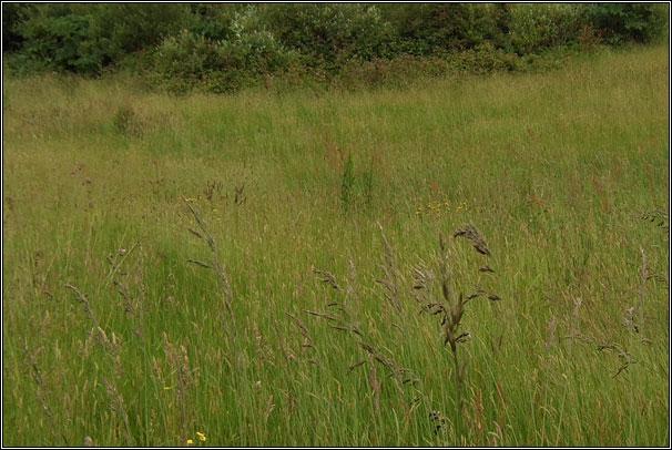 Irish Grasses Tall Fescue Festuca Arundinacea