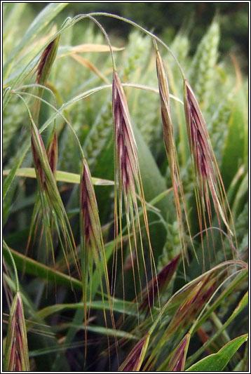 Irish Grasses  Great Brome Anisantha diandra