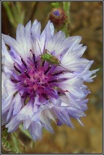 Irish Wildflowers  Cornflower