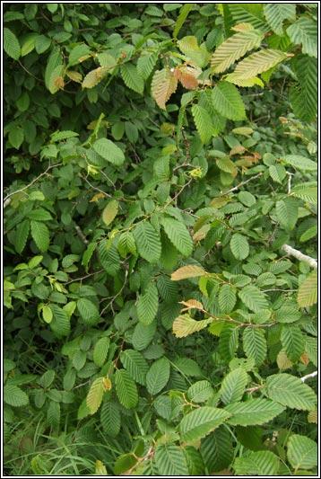 Irish Trees  Hornbeam Carpinus betulus