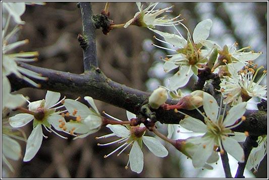 Irish Trees  Blackthorn