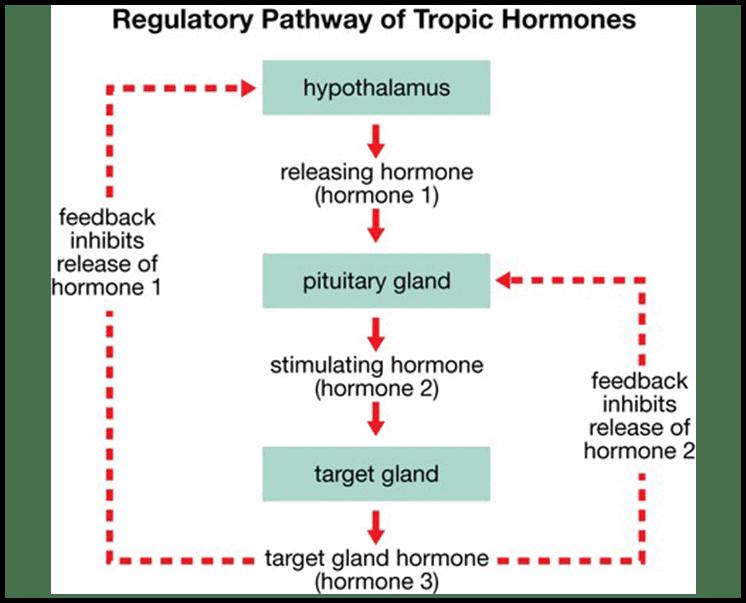 hormonal-feedback-loop