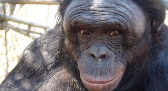 World's Smartest Ape not Making Headway on Whole Poo-eating Thing