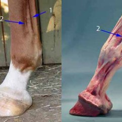 Front Leg Ligament Diagram Irrational Number Equine Digital Pulses How And Why If You Know The Anatomy Of Lower It Will Help Immensely Are Touching Correct Area Having A Hard Time Finding Pulse