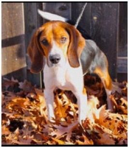 Bedbug-sniffing-Beagle