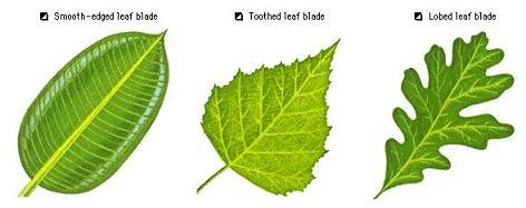 daun hijau fotosintesis