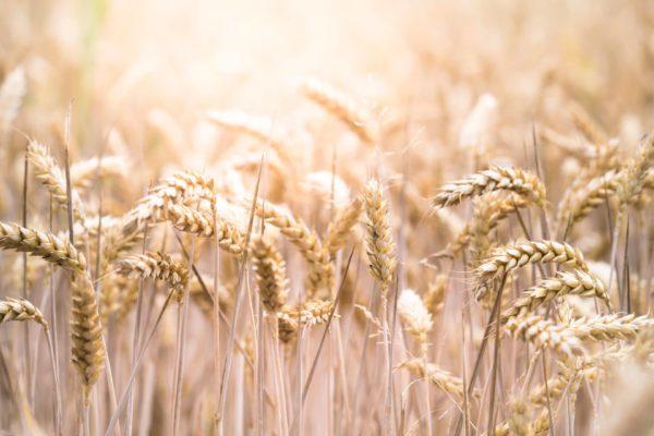 champs de blé avec gluten