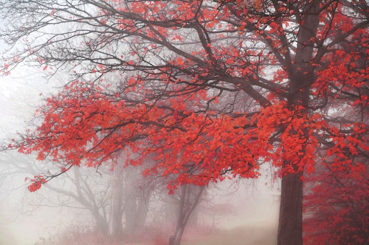 Une forêt rouge par ses feuilles, offre un contraste avec ses arbres noirs et son fond brumeux.
