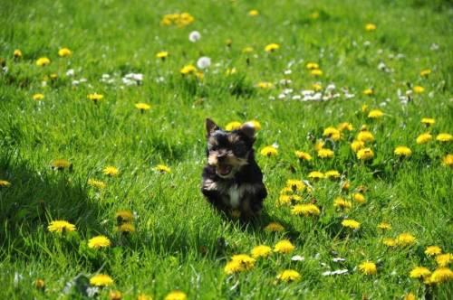 Leine ab und losgeflitzt: Münster bietet viele Freilaufmöglichkeiten für Hunde. Foto: Yorkshire Terrier Blog