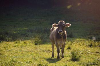 Kühe dürfen auf dieser Wanderung natürlich nicht fehlen