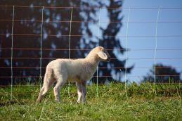 Flausche-Schafe