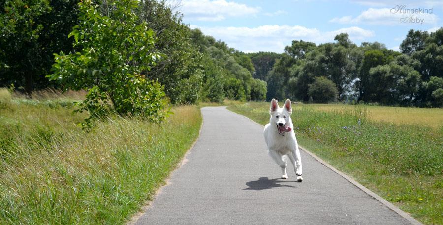 Abby, die weiße Schweizer Schäferhündin. Foto: Hundekind Abby